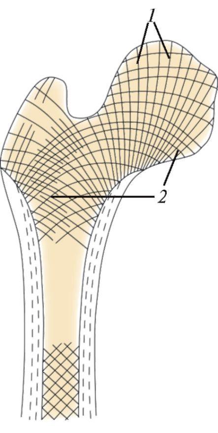 Слева — схема строения остеона