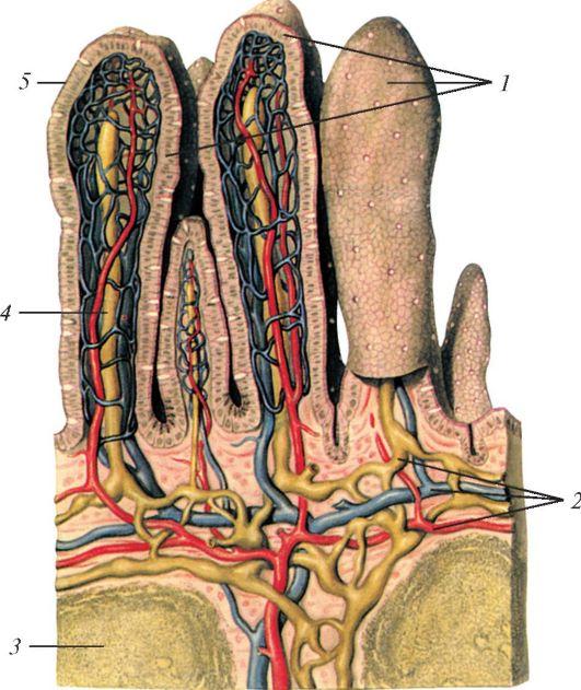 Строение ворсинок тонкой кишки