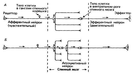 Схемы простых рефлексов