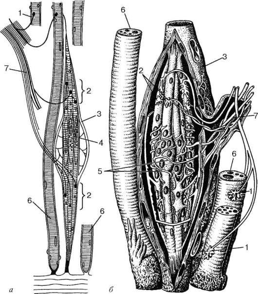 Схема строения мышечного