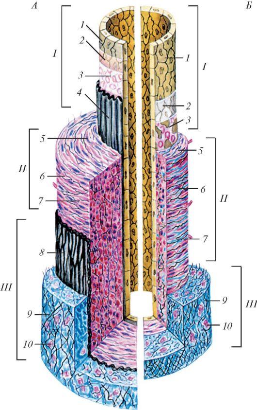 Схема строения стенки артерии