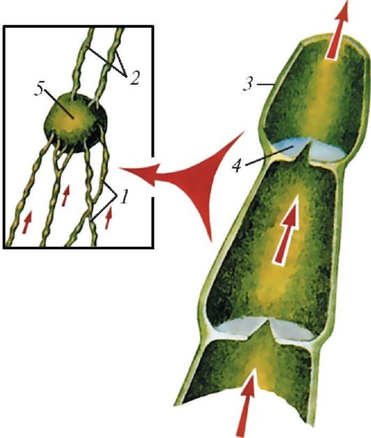 Схема строения лимфатических