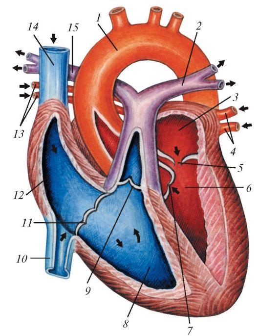 Схема строения сердца
