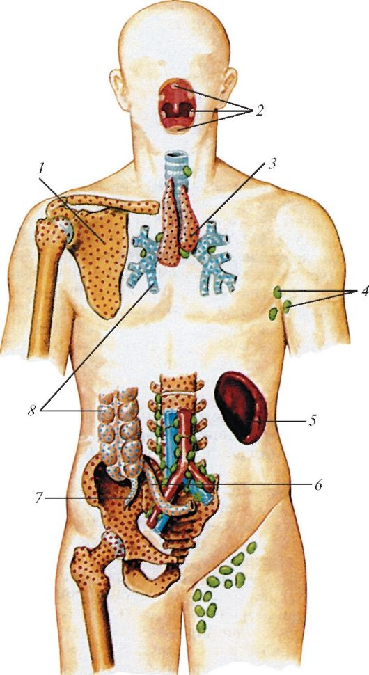 органов иммунной системы у