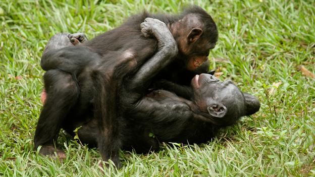 Половой член самца гориллы