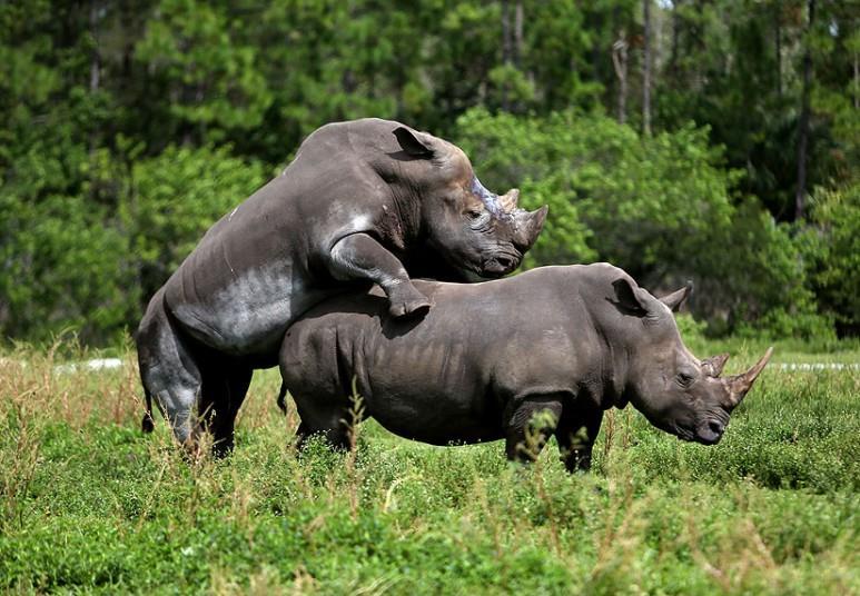 Член у носорога половой акт
