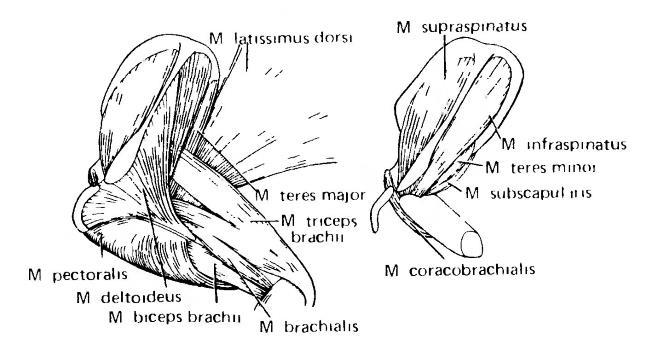 Мышцы плечевого сустава млекопитающих мрт суставов стопы