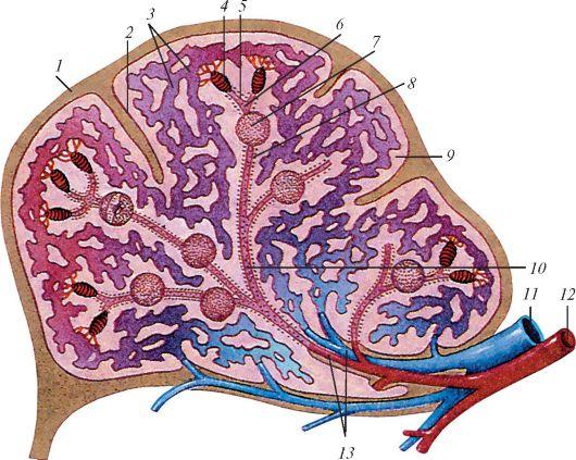 Схема лимфоидных образований
