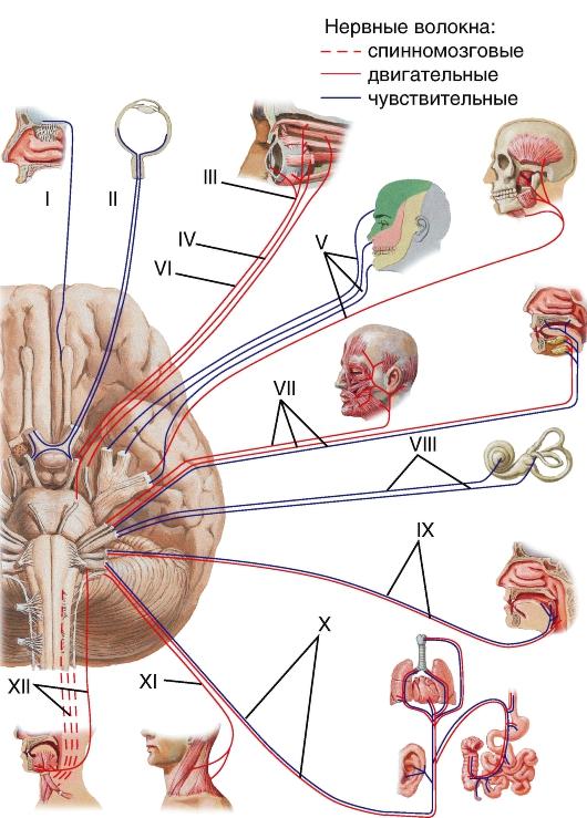 Нерв блоковой
