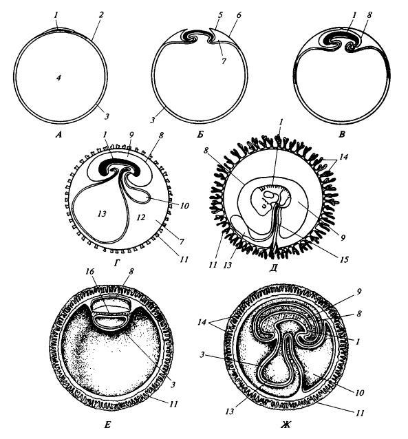 Схема развития зародышевых