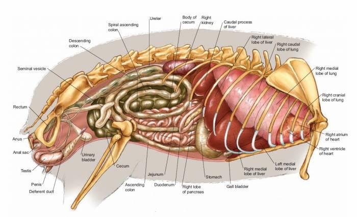 Пищеварение морских свинок